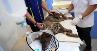 Dokter hewan merawat seekor anjing yang terluka akibat terjangan awan panas Gunung Sinabung, Medan, Rabu (25/5). Selain menyebabkan korban jiwa manusia, awan panas Gunung Sinabung juga menyebabkan sejumlah hewan  terluka dan terlantar. (WOL Photo/Ega Ibra)