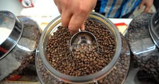 Peserta pameran kopi menunjukan biji kopi berjenis kopi Peaberry (kopi jantan) asal Tapanuli Selatan yang dimilikinya saat acara Medan International Coffee Festival, Medan, Jumat (13/5). Acara festival kopi tersebut diadakan mulai tanggal 13-15 Mei. (WOL Photo/Ega Ibra)