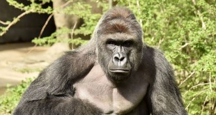 Harambe, a 17-year-old male gorilla, was shot dead Saturday after a child fell into his enclosure (nbcnews)