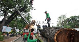 Pekerja Dinas Pertamanan Kota Medan melakukan penebangan pohon trembesi di Kawasan Lapangan Merdeka Medan, Jumat (13/1). Penebangan dilakukan kepada pohon trembesi yang sudah berusia ratusan tahun untuk mencegah terulangnya peristiwa pohon tumbang pada hari Senin (9/1) yang mengakibatkan tiga mobil, satu sepeda motor dan  sejumlah warga terluka tertimpa batang pohon. (WOL Photo/Ega Ibra)