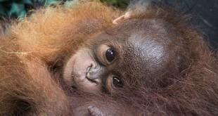 Bayi Orang Utan (Foto: Dailymail)