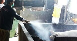 Peternakan babi disemprot disinfektan. (Foto:Nurul Hikmah/Okezone)