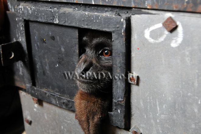 Seekor Owa Ungko/Sarundung (Hylobates Agiliis) berada di dalam kandang saat diserahkan kepada pihak Balai Besar Konservasi Sumber Daya Alam (BBKSDA) Sumut, Medan, Kamis (6/7). Dua ekor satwa dilindungi Berjenis Owa Siamang (Hylobates Syndactylus berumur 3 tahun 8 bulan dan Owa Ungko berumur sekitar 7 tahun diserahkan warga kepada pihak BBKSDA Sumut untuk selanjutnya mendapatkan pemeriksaan kesehatan sebelum dilepas liarkan. (WOL Photo/Ega Ibra)