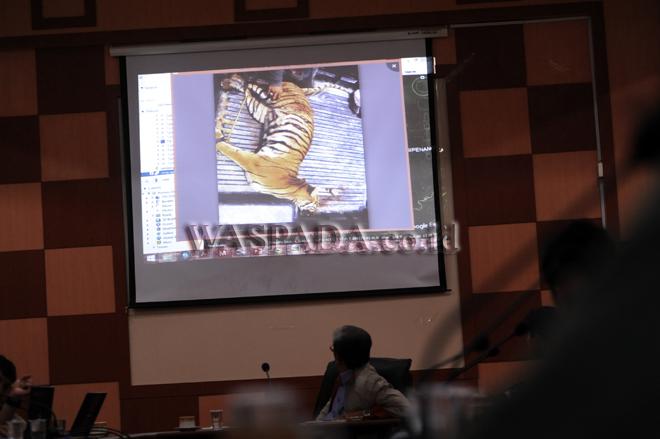 Petugas menunjukan foto kondisi bangkai Harimau Sumatera (Panthera tigris sumatrae) saat gelar kasus perburuan satwa dilindungi, di Medan, Senin (28/8). Tim gabungan patroli satwa liar terdiri dari Balai Besar Taman Nasional Gunung Leuser (BBTNGL) Sumut, Forest Wild Patrol Unit (ForWPU) dan Balai Pengamanan dan Penegakan Hukum LHK Wilayah Sumatera berhasil menangkap satu orang tersangka yang melakukan perburuan Harimau di kawasan TNGL. (WOL Photo/Ega Ibra)
