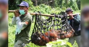 Petugas BKSDA dan SOCP Evakuasi Orangutan. (Foto: BKSDA Aceh)
