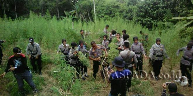 Kapolres Aceh Utara, AKBP Ir. Untung Sangaji Bersama Anggota dan Polwan Memusnahkan Ladang Ganja di Sawang, Mei 2017. (WOL Photo)