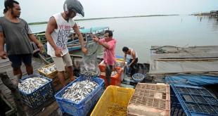 Nelayan mengumpulkan ikan Belanak hasil tangkapan ke dalam kotak, di Kampung Nelayan Belawan, Medan, Jumat (29/12). Ikan Belanak untuk konsumsi dan diolah menjadi ikan asin tersebut dijual Rp 15.000/kg. (WOL Photo/Ega Ibra)