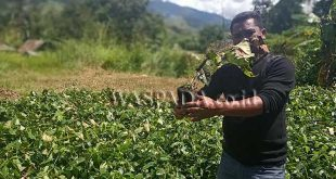 Hasil investigasi Tim LSM FMPK Koordinator Gayo Lues Sabtu (9/11), di dua lokasi Kecamatan Pantan Cuaca, terlihat bibit kopi yang sudah layu dan tidak ditangkar sebagaimana mestinya.